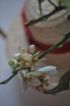 Flor de pomelo